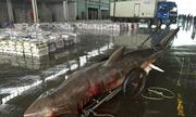 Cá mập nửa tấn chết thảm sau khi mắc kẹt vào lưới