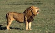 Du khách thoát chết khi ngã ngựa ngay trước mặt sư tử
