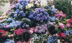 5 điểm ngắm hoa cẩm tú cầu đẹp nhất Tokyo