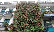 Ngôi nhà Hà Nội nổi bật nhất phố bởi giàn hoa phủ kín 3 tầng