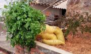 Củ cải khổng lồ trong vườn nông dân Trung Quốc