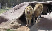 Cậu bé mồ côi thiệt mạng sau khi bị dẫn vào chuồng sư tử