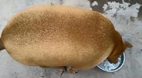 Chú chó béo nhất Việt Nam.
