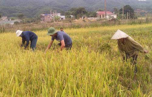 Bà con hối hả gặt lúa tránh thiệt hại do bão gây ra. Ảnh: Lành La.