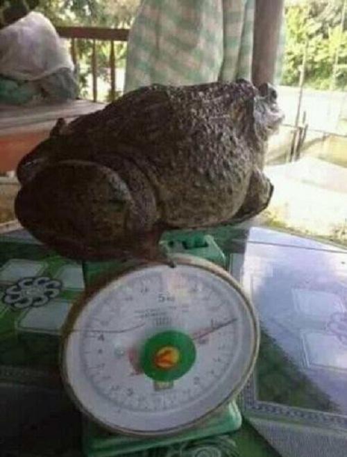 Khi ếch cũng béo phì.