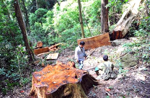 Gỗ hương ở Kbang bị lâm tặc tàn phá. Ảnh: Nhật Hạ