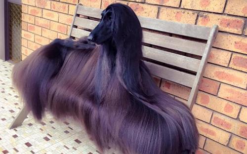 Tea đượcệnh danh là cô chó xinh đẹp nhất thế giới nhờ bộ lông dài óng ả.