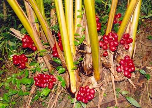 Những trái thảo quả chín đỏ đang chờ người thu hoạch. Ảnh: dacsanvungcaotaybac