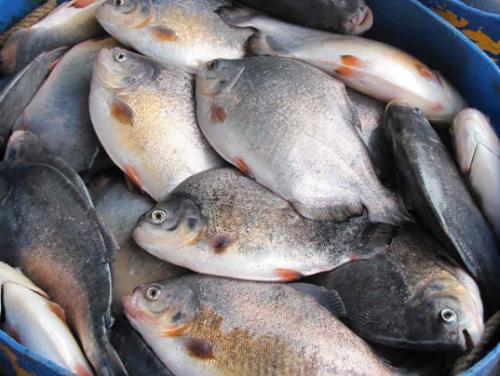 Cá chim là loại cá mình dầy và hương vị thơm ngon phù hợp để làm cá thính. Ảnh: wikipedia