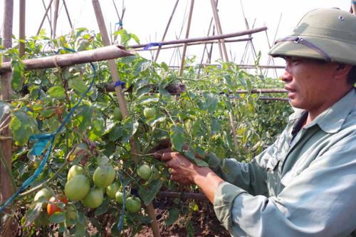 Vườn cà chua sai trĩu quả của người nông dân Yên Phú. Ảnh: dangcongsan