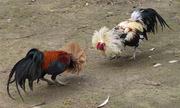 Đâm chết bạn vì tiếc con gà chọi