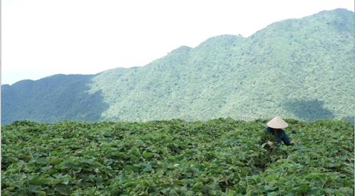 Ruộng rau su su xanh mướt tại huyện Tam Đảo. Ảnh: bizmedia.