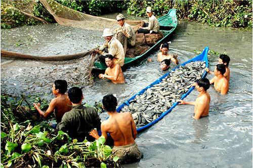 Kéo lưới thu hoạch cá. Ảnh: Phúc Hưng