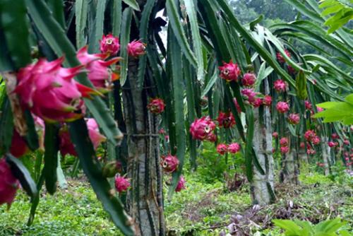 Vườn thanh long ruột đỏ tại huyện Lập Thạch. Ảnh: 20namtailap
