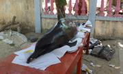 Cá heo dài 2m, nặng 100 kg dạt vào đảo Lý Sơn