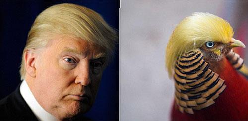một con chim ở Đông Trung Quốc gây sốt vì có chỏm lông trên đầu giống với mái tóc của ông Trump.