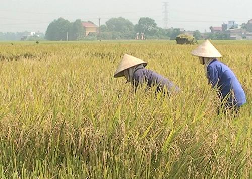 Nông dân trồng lúa tại huyện Lương Tài. Ảnh: bacninh.com