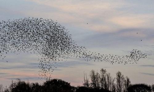 14000-con-chim-sao-da-bay-thanh-hinh-khung-long