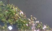 Đàn cá chết nổi trắng kênh Nhiêu Lộc, Sài Gòn