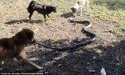 Bốn chú chó kịch chiến hổ mang chúa 2,4 mét để cứu chủ