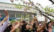 7.000 cành hoa anh đào trưng bày trong lễ hội ở Hà Nội
