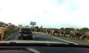 20 con trâu dàn hàng trên cao tốc sau tai nạn giao thông