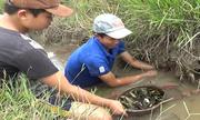 Cầm rổ xúc cá rô 'mỏi tay' trong mương nước nhỏ