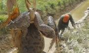 Cao thủ bắt hàng loạt ếch trong hang chỉ bằng một cái que
