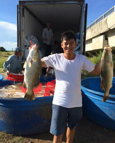 Cá chẽm sau khi thu hoạch được vận chuyển tới địa điểm tiêu thụ. Ảnh: Thủy sản Ngọc Hường.