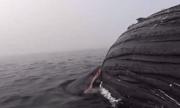 Cá mập trắng cắn xé xác cá voi lưng gù suốt 18 tiếng
