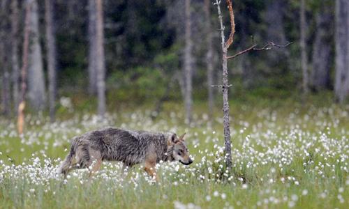 Các nhà khoa học Đan Mạch đã có bằng chứng về sự xuất hiện của sói tại quốc gia này sau 200 năm tuyệt chủng. Ảnh: AFP.