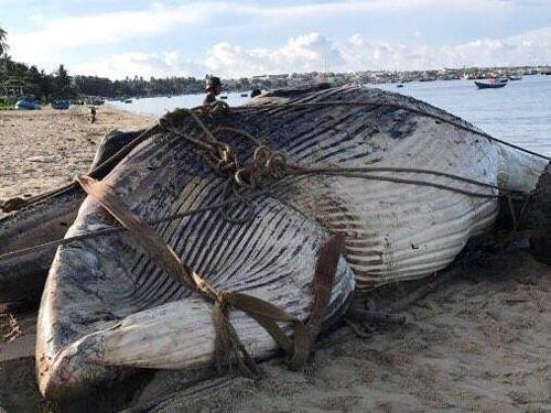 Con cá voi 10 tấn được kéo vào bờ. Ảnh: Tư Huynh