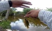 Cao thủ câu hàng trăm cá rô bằng dế