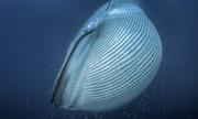 Thảm họa biến cá voi xanh thành sinh vật lớn nhất hành tinh