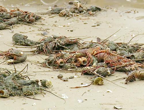 Tôm hùm nuôi trong lồng bè trên vịnh Xuân Đài, Phú Yên chết hàng loạt. Ảnh: An Phước