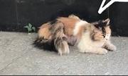 Mèo ba đuôi xuất hiện trên đường phố Bắc Kinh
