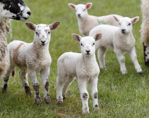 Cừu ở Scotland, Anh. Ảnh minh họa: Reuters