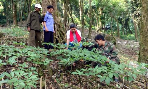 Sâm Ngọc Linh được công nhận là sản phẩm quốc gia