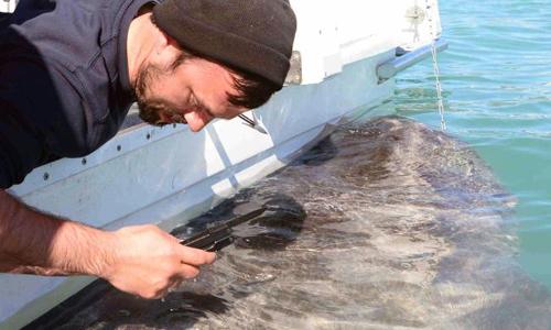 Mẫu vây cá mập Greenland được thu thập để nghiên cứu. Ảnh: Julius Nielsen.