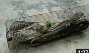 Bắt rắn hổ mang 2 mét bằng mồi cóc