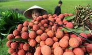 30% vải thiều Bắc Giang trồng theo chuẩn VietGap